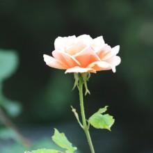 rose-entière-lumière